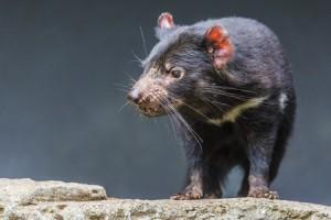Le diable de Tasmanie, photo de Mariusz Prusaczyk